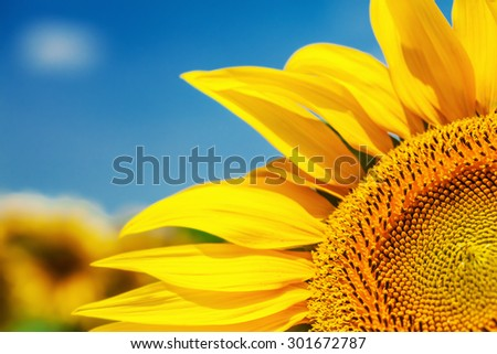 This is close up of beautiful sunflower field on sunny day - stock photo
