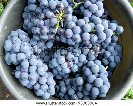This is  harvest of  grapes in round capacity - stock photo