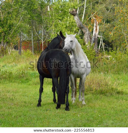 This is love! Thoroughbred mare and stallion ordinary - stock photo