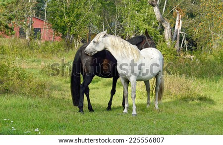 This is love! Thoroughbred mare and stallion ordinary. Stallion gently bites mare - stock photo