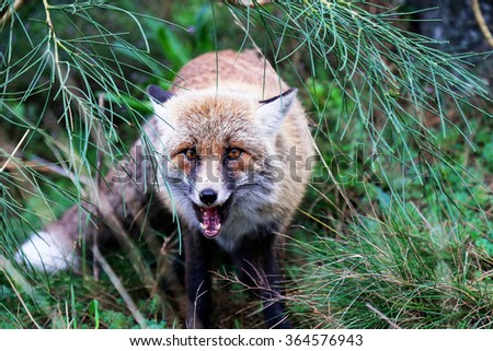 This is photo of fox on Etna, Sicily - stock photo