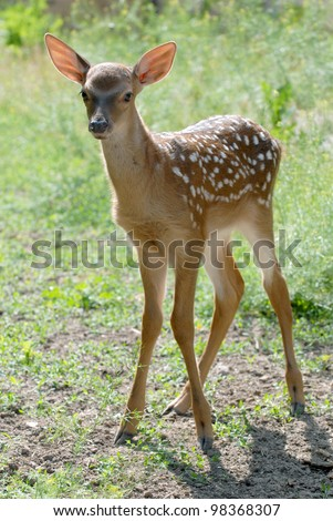 This is red deer fawn, it is spotted. The fawn is situated on the meadow. - stock photo