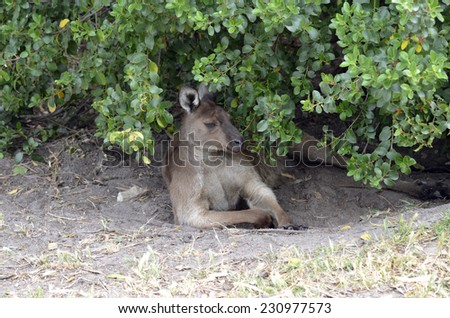 this kangaroo is taking advantage of the shade supplied by the bush - stock photo