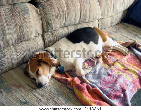 This naughty beagle snuck onto the couch and is taking a nap. - stock photo