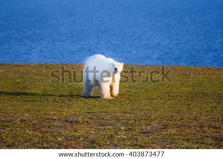 This polar bear goes straight to the photographer and tries to attack it. Novaya Zemlya archipelago, South island - stock photo