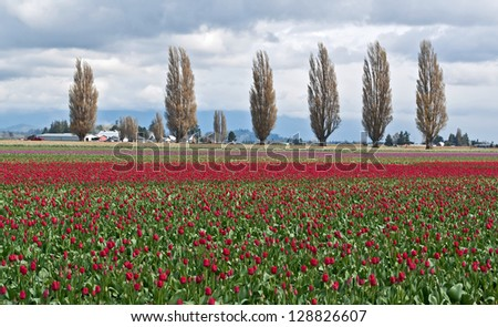 This rural landscape is a field of red spring tulips on a stormy day.  Popular trees in a line are in the background, taken of Skagit County, WA. - stock photo