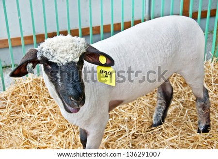 This sheared white sheep with a black face, has a prominent tag in its ear, as its in a cage with straw. - stock photo
