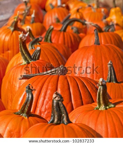 This stock image is in a pumpkin patch and is many pumpkins in a row with the back portion of the row blurred for artistic effect. - stock photo