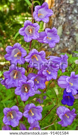 This vertical image is light purple Canterbury Bell flowers (Campanula Medium) growing in a summer garden.  Beautiful bell shaped tall cup-shaped petals. - stock photo