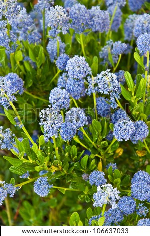 This vertical image is of the flowering bush ceanothus impressus 'Victoria', or Santa Barbara mountain lilac with its fragrant blue spike flowers. - stock photo