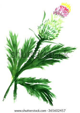 Thistle. Drawing watercolor Asian-style - stock photo