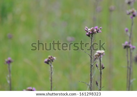 Thistle field on a styrian mountain, Austria - stock photo