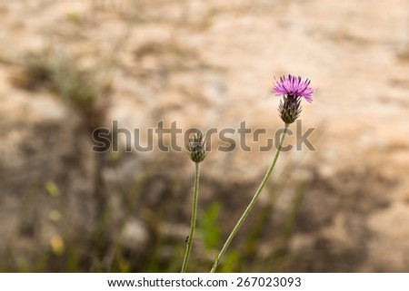 Thistle flower with an ant on the stem - stock photo