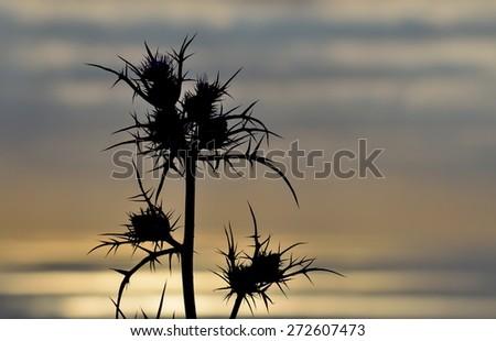 Thistle flowers at sunrise - stock photo