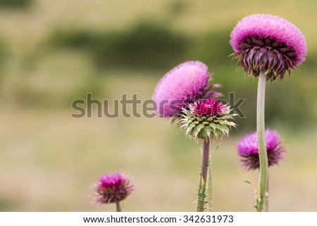 Thistle flowers in full bloom - stock photo
