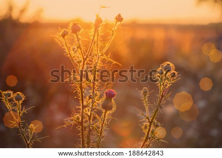 thistle growing wild in a meadow at sunset time. - stock photo