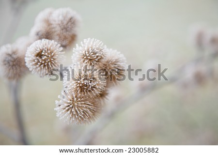 thistle in hoarfrost - stock photo