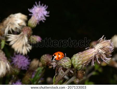 thistle, ladybird - stock photo