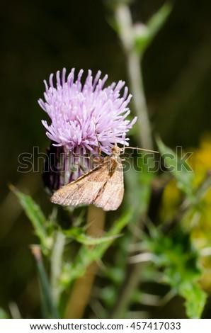 thistle, moth - stock photo