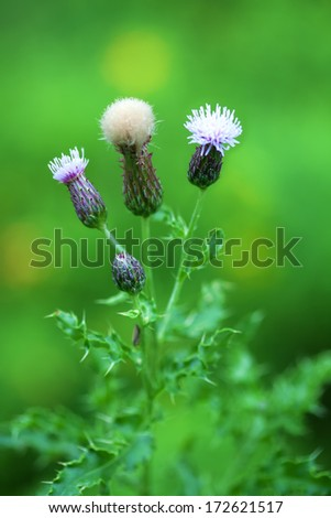 thistle plant showing bud, flower and seed, purple with natural green background - stock photo