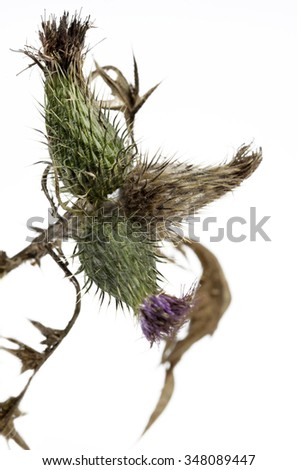 Thistle plant (Silybum marianum) - stock photo