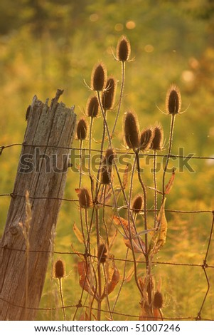 Thistles Against Farm Fence - stock photo