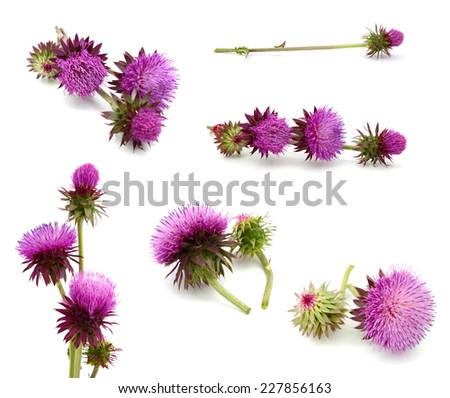 thistles flower and bud isolated on white  - stock photo