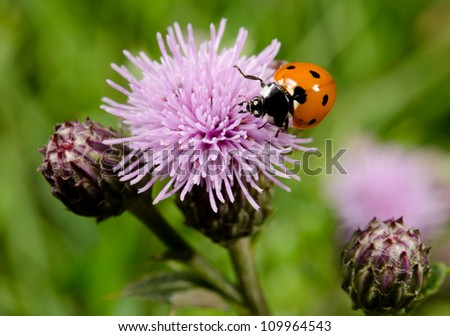 thistles with seven spotted ladybird - stock photo