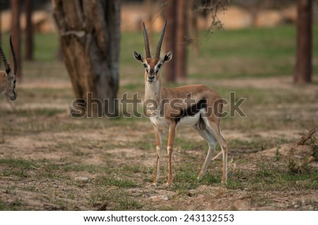 Thomson Gazelle beautiful posing for a photograph - stock photo