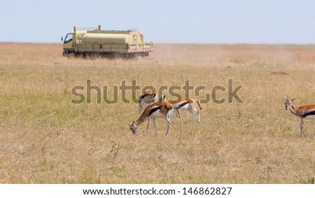 thomson gazelles in front of a tanker in the savannah of kenya - masai mara national park - stock photo