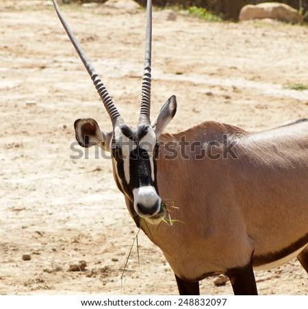 THOMSON'S GAZELLE, African large brown deer with black and white stripes on the face and body with long straight sharp horns walking on green grass area and chewing grass leaves in a zoo in THAILAND - stock photo