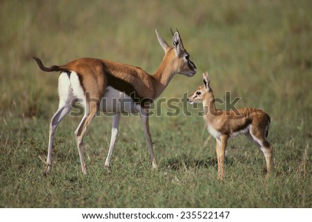 Thomson's Gazelle and Young - stock photo