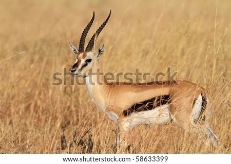 Thomson's gazelle male, Serengeti, Tanzania - stock photo
