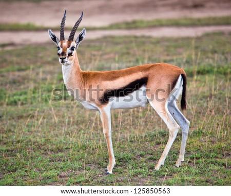 Thomson's gazelle on savanna in Africa. Safari in Serengeti, Tanzania - stock photo