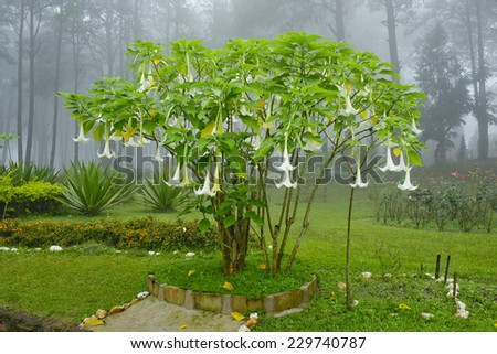 Datura Stock Photos Images Pictures Shutterstock