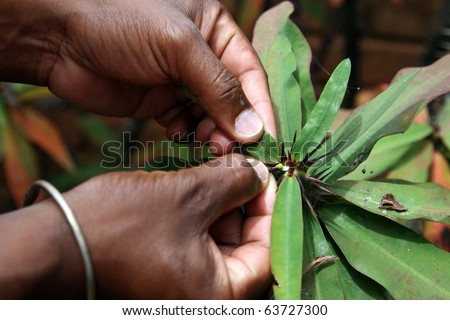 """Thorn of  """"crown of Christ"""" plant (Euphorbia milii): closeup of malagasy guide's hands showing thorn on plant (of the laurel family), locally called """"crown of Christ"""". - stock photo"""
