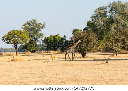 Thornicroft (Rhodesian) giraffe (Giraffa camelopardalis thornicrofti) and puku (Kobus vardonii) - stock photo