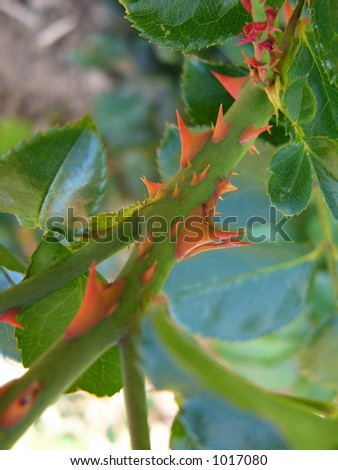 Thorns - stock photo