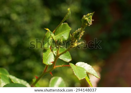 thorns and leaves without flowers rose bush - stock photo