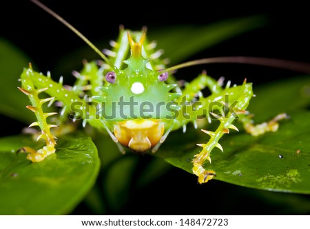 Thorny Devil katydid (Panacanthus cuspidatus) in the rainforest understory, Ecuador - stock photo