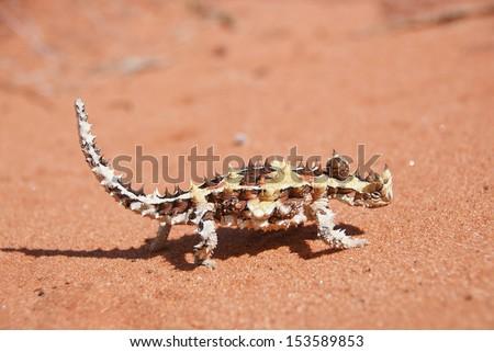 Thorny Devil Lizard on typical Australian red sand soil in outback desert. (Moloch horridus) - stock photo