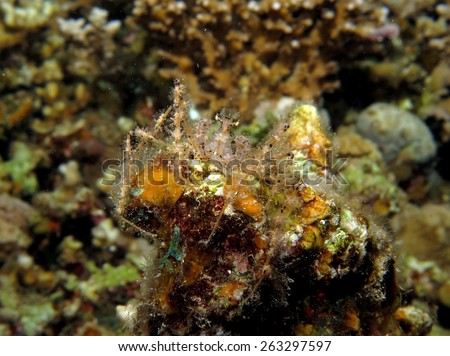 Thorny elbow crab camouflaged against coral head at night - stock photo
