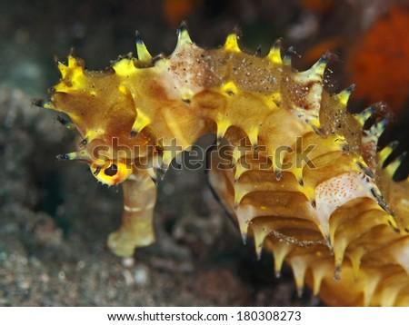 Thorny Seahorse, Dorniges Seepferdchen (Hippocampus histrix)  - stock photo