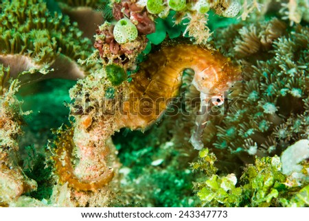 Thorny seahorse in Ambon, Maluku, Indonesia underwater photo. Thorny seahorse Hippocampus hystrix is hanging on the reef. - stock photo