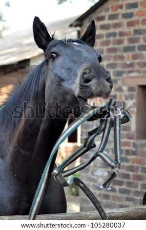 thorough bred Horse playing with Halter - stock photo