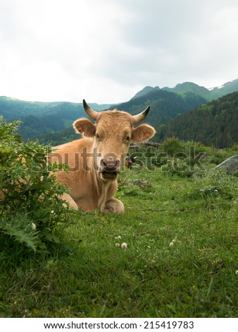 Thoroughbred cow peeking out of the bush in a forest with mountains - stock photo