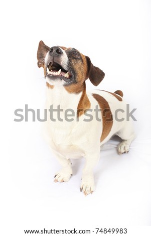 Thoroughbred Jack Russell Terrier looking in upward direction - stock photo