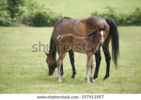 Thoroughbred mare and foal in pasture following mother. Mare and her foal in meadow. Foal with a mare on a summer pasture. - stock photo