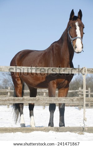 Thoroughbred saddle horse looking over the corral fence.  - stock photo