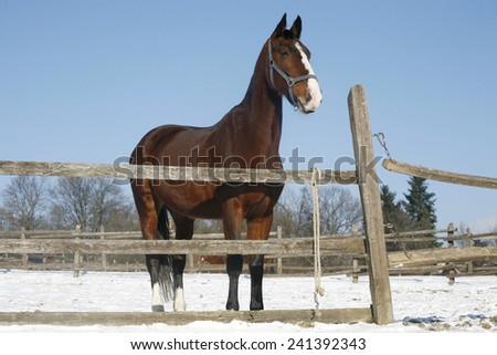 Thoroughbred saddle horse looking over the corral fence rural scene as a background - stock photo